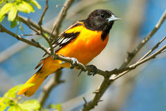 Baltimore Oriole. Perched on a branch Stock Photo