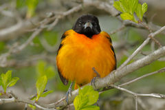 Baltimore Oriole. Perched on a branch Royalty Free Stock Photography