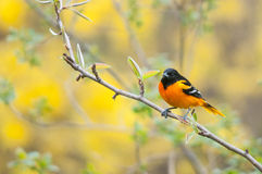 Baltimore Oriole Stock Image