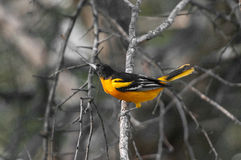Baltimore oriole Royalty Free Stock Image