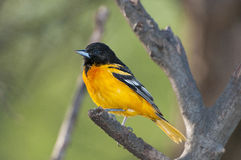 Baltimore oriole. Perched on cut tree branch Stock Photography