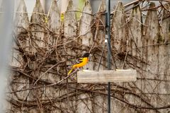 Baltimore Oriole perched on a fence rail. A Baltimore Oriole perched on a backyard fence rail, above a feeder royalty free stock photography