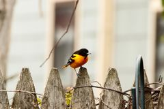 Baltimore Oriole perched on a fence rail. A Baltimore Oriole perched on a backyard fence rail, above a feeder stock photography