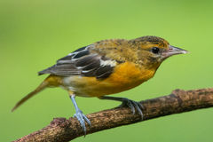Baltimore Oriole. In Sarapiqui valley, Costa Rica Stock Image