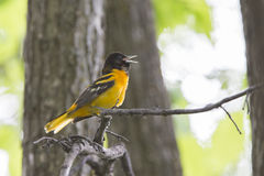 Baltimore Oriole singing Royalty Free Stock Photo