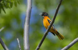 Baltimore Oriole singing Royalty Free Stock Image