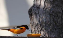 Baltimore Oriole som äter en apelsin på däcket arkivbilder