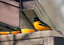 Baltimore Oriole som ?ter en apelsin p? d?cket royaltyfria bilder