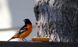 Baltimore Oriole eating an orange on the deck. Baltimore Oriole in south central Manitoba, not far from Portage La Prairie, Manitoba.  Bright orange and black stock image