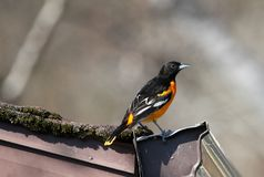 Baltimore Oriole in southern Manitoba. Baltimore Oriole in south central Manitoba, not far from Portage La Prairie, Manitoba.  Bright orange and black bird stock image