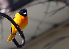 Baltimore Oriole in southern Manitoba. Baltimore Oriole in south central Manitoba, not far from Portage La Prairie, Manitoba.  Bright orange and black bird stock photos