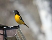 Baltimore Oriole in southern Manitoba. Baltimore Oriole in south central Manitoba, not far from Portage La Prairie, Manitoba.  Bright orange and black bird royalty free stock photos
