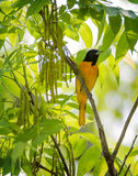 Baltimore Oriole in SpringTime Stock Photography