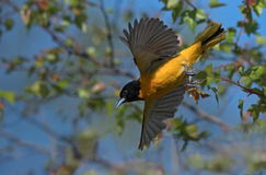 Baltimore Oriole takes flight from leafy branch Royalty Free Stock Photos