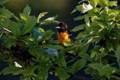 Baltimore Oriole w liściach Zdjęcia Stock