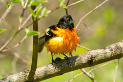 Baltimore Oriole. Wet Baltimore Oriole perched on a branch Stock Images