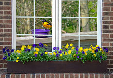 Baltimore oriole in window Royalty Free Stock Photos