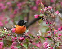 Baltimore Orioles Icterus galbula. Perches on a pink flowering tree branch royalty free stock images