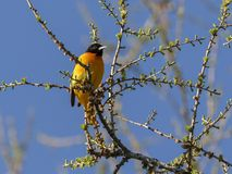 Baltimore Orioles Icterus galbula. Perching on a budding tree, Ottawa, Canada royalty free stock image