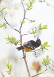 baltimorzy oriole Obrazy Royalty Free
