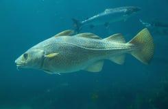 Baltische kabeljauwvissen in Atlantisch Overzees Park in Alesund stock fotografie
