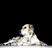 Balu the dog. Photograph of a laying dog royalty free stock images