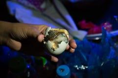Balut是特别烹调在亚洲 免版税库存照片