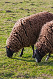 Balwen Welsh Mountain Sheep grazing (2) Royalty Free Stock Photo