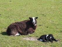 Balwen Welsh Mountain Sheep and Lamb Royalty Free Stock Photography