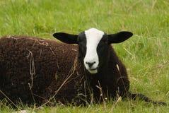 Balwen Welsh Mountain sheep Stock Image