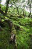 Balzi in foresta verde e muscosa, Scozia Fotografie Stock Libere da Diritti