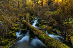 Balzi in montagna selvaggia Altai, Russia della foresta di autunno Fotografia Stock Libera da Diritti