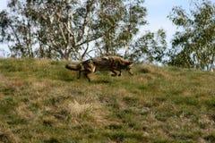 balzo repentino del coyote Fotografia Stock