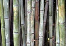 Bambù Fotografia Stock