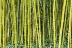 Bambù Immagini Stock