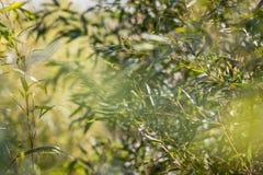 Bambù alla luce solare Fotografie Stock