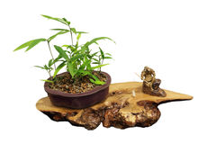 Bambù dei bonsai Immagini Stock