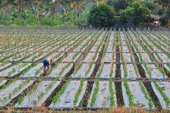 Bambù del bastone in azienda agricola Immagini Stock Libere da Diritti