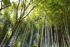 Bambù del Giappone Immagine Stock