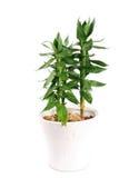 Bambù del loto Fotografia Stock