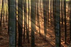 Bambù della primavera Immagini Stock
