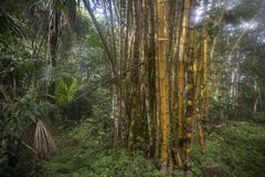 Bambù di giallo di Amazon Fotografia Stock