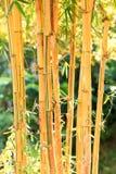 Bambù dorato Fotografia Stock Libera da Diritti