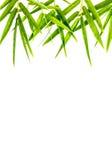 Bambù-foglie isolate. Immagine Stock