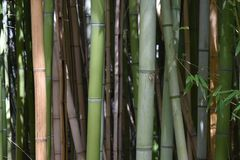 Bambù a Fort Worth Immagine Stock Libera da Diritti