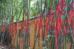 Bambù fortunati Fotografie Stock