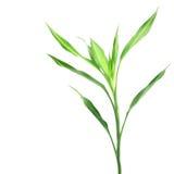 Bambù fortunato Immagini Stock Libere da Diritti