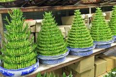 Bambù fortunato Immagine Stock