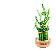 Bambù fortunato isolato su una priorità bassa bianca Immagine Stock Libera da Diritti
