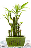 Bambù fortunato sulla priorità bassa dei soldi. fotografia stock libera da diritti